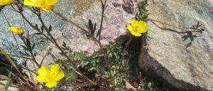 rotsen met een geel bloemetje